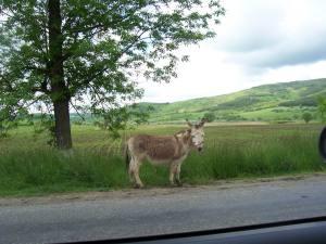Esel am Wegrand in Transsylvanien